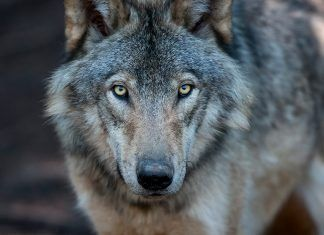 Close up portrait of a grey wolf (Canis Lupus) also known as Timber wolf in the Canadian forest during the summer months. By FOTOimage Montreal | Shutterstock.com