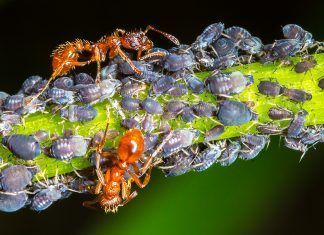 Ants and aphids in symbiosis. Photo by inkwelldodo | Shutterstock.com