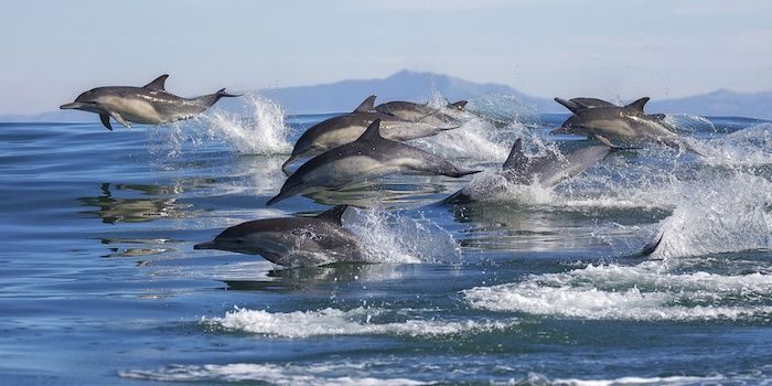 A pod of long-beaked common dolphins leap out of the water in Monterey Bay, California. By Chase Dekker | Shutterstock.com