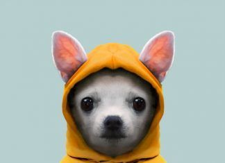 Chihuahua Dog (Puppy) - Canis Lupus Familiaris
