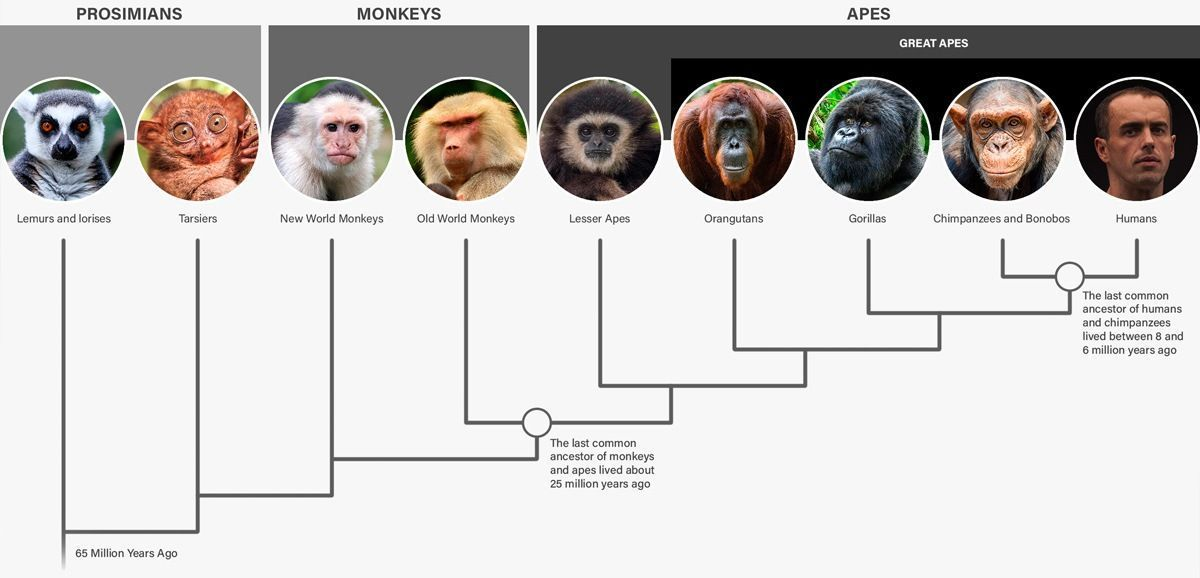 Great apes and monkeys