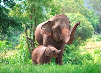 Elephant mother and baby in forest, Thailand. Pic by tdee photo cm | Shutterstock.com