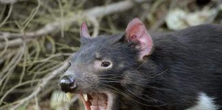 The tasmanian devil is growling and snarling fiercely. By Susan Flashman | Shutterstock.com