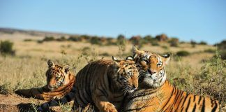 A family of Bengal tigers. By Julian W | Shutterstock.com