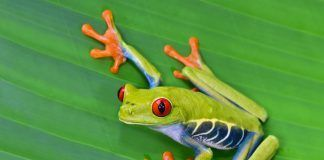 Red-eyed tree frog (Agalychnis callidryas). Arboreal hylid native to tropical rainforests in Central America. By worldswildlifewonders | Shutterstock.com