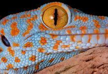 A young tokay gecko is resting on driftwood. By Cathy Keifer   Shutterstock.com