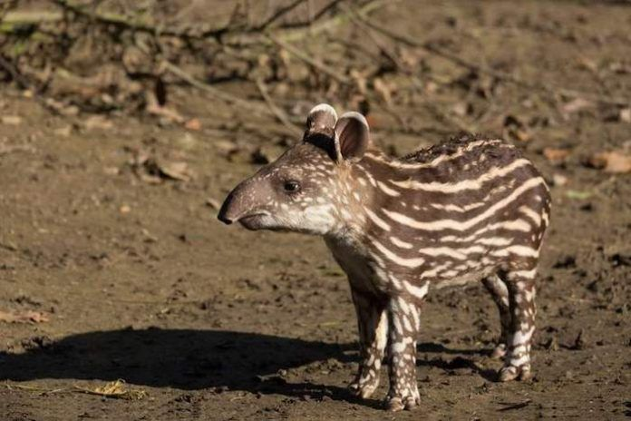 Small stripped baby of the endangered South American tapir. By Artush | Shutterstock.com