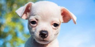 Cute white chihuahua puppy looking straight into the camera. By Ysign | Shutterstock.com