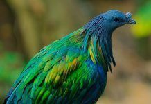 Nicobar pigeon. Pic by dune00z   Shutterstock.com