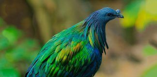 Nicobar pigeon. Pic by dune00z | Shutterstock.com