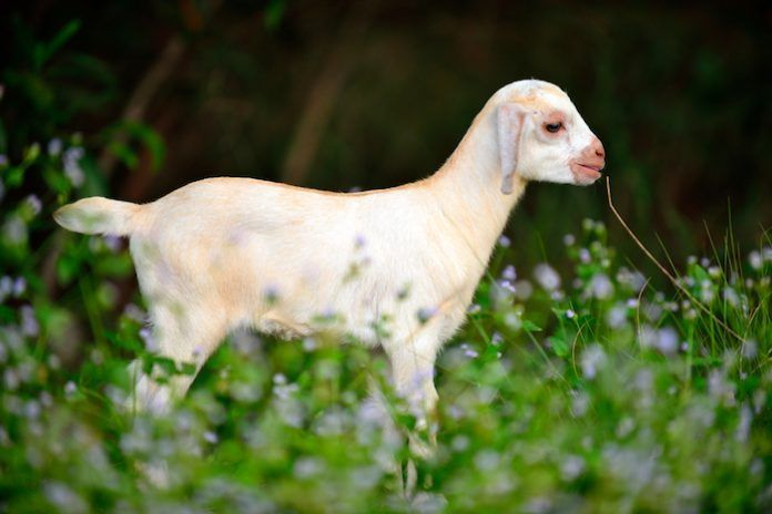 Domestic goat kid. By montree hanlue | Shutterstock.com