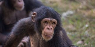 Chimpanzee with a curious expression. By Roop_Dey | Shutterstock.com