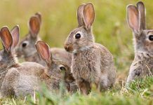 A group of wild rabbits sitting outside their warren in New Zealand. By William Booth   Shutterstock.com