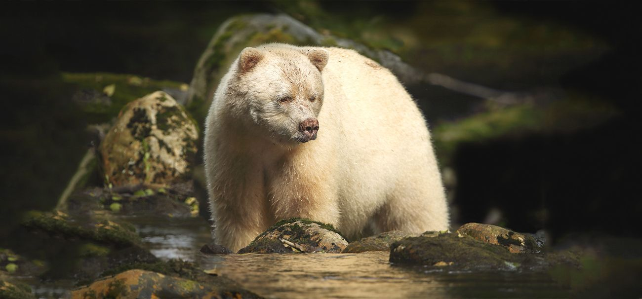 Have you ever heard of the Kermode bear, also known as the