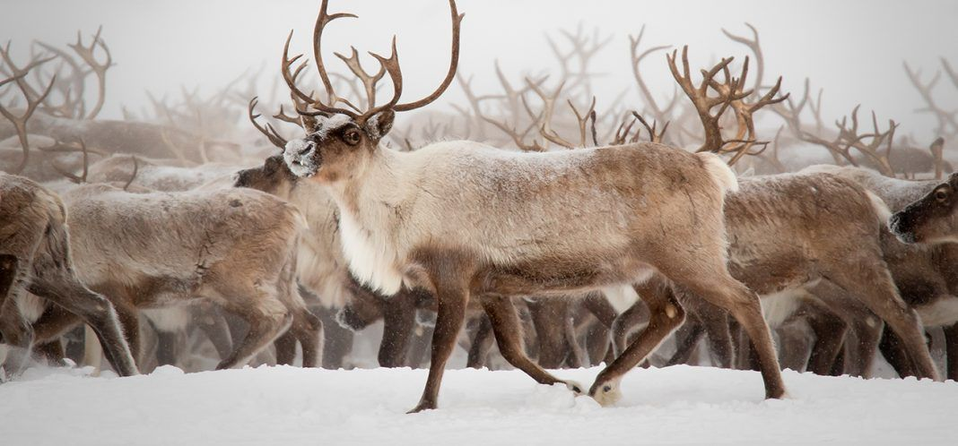 Reindeer migration to breeding grounds. By mellow | Shutterstock.com