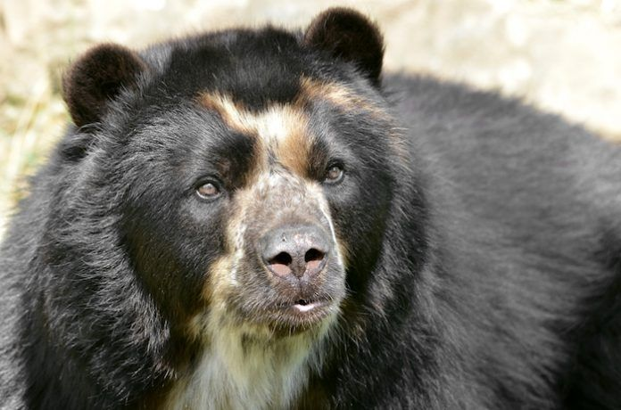 Front portrait of andean bear (Tremarctos ornatus), also known as the spectacled bear. By Christian Musat | Shutterstock.com