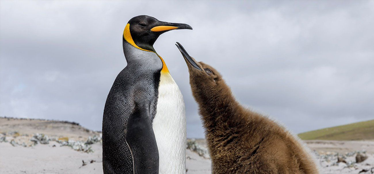 Penguins are a bird or an animal, why