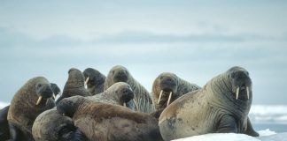 Group of walrus on ice floe in Canadian High Arctic. By outdoorsman | Shutterstock.com