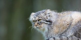 Pallas´s cat, or manul, lives in the cold and arid steppes of central Asia. Winter temperatures can drop to 50 degrees below zero. By Kjetil Kolbjornsrud | Shutterstock.com
