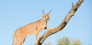 Young sub adult Caracal (Felis caracal) in a tree in South Africa, Kruger Park. By Stuart G Porter | Shutterstock.com
