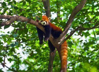 Lazy red panda in tree. By Hung Chung Chih | Shutterstock.com