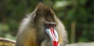 Portrait of a Backlit Male Mandrill (Mandrillus sphinx). By Andreas Rose | Shutterstock.com