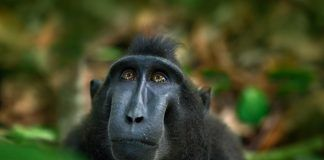 Celebes crested Macaque, detail portrait of black monkey, sitting in the nature habitat, dark tropical forest, wildlife from Asian Tangkoko on Sulawesi in Indonesia. By Ondrej Prosicky | Shutterstock.com