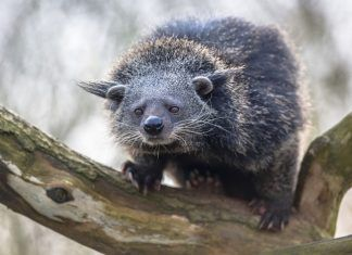 Binturong is widespread in south and southeast Asia occurring in Bangladesh, Bhutan, Myanmar, China india and indonesia