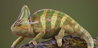 A veiled chameleon is walking on a tree branch. By Cathy Keifer | Shutterstock.com