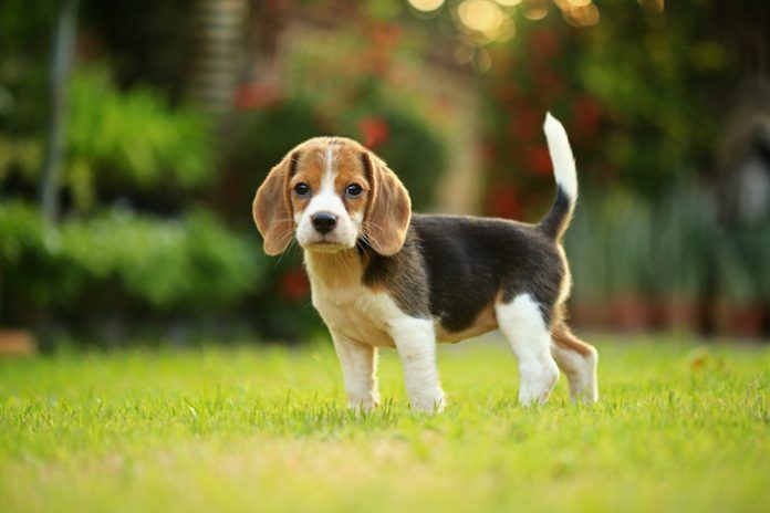 Beagle puppy dog. By Sigma_S | Shutterstock.com