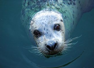 A Harbour seal looking straight into the camera while in the water offshore at a beach. By Pat Stornebrink | Shutterstock.com