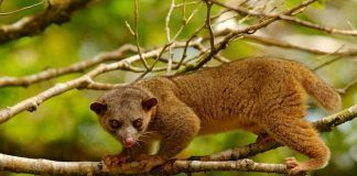 Kinkajou, Potos flavus, tropical animal in the nature forest habitat. Mammal from Costa Rica. By Ondrej Prosicky | Shutterstock.com