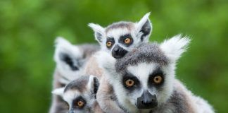 Close-up of a ring-tailed lemur with her cute babies (Lemur catta). By Eric Gevaert | Shutterstock.com