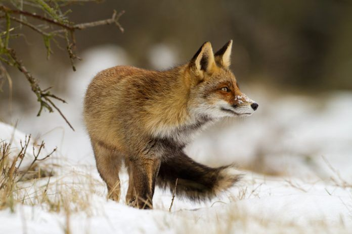 Red fox in the snow. By Menno Schaefer | Shutterstock.com