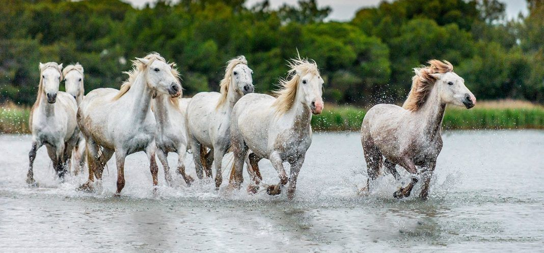 White Camargue Horses galloping through water. Parc Regional de Camargue - Provence, France. By Sergey Uryadnikov | Shutterstock.com