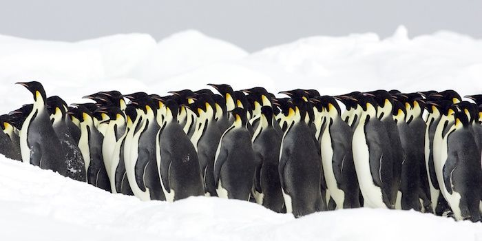 Emperor penguins, the Antarctic. By BMJ | Shutterstock.com