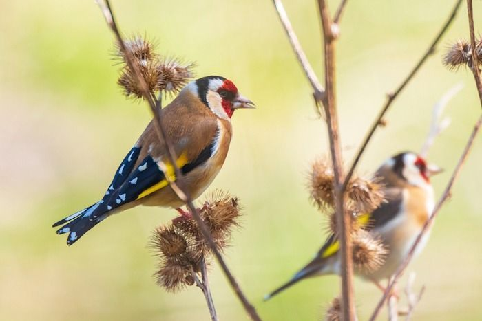 European goldfinch bird, (Carduelis carduelis), perched, eating and feeding seeds during Springtime season. By SanderMeertinsPhotography | Shutterstock.com