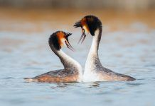 Sexual selection. Great crested grebe. By Pim Leijen | Shutterstock.com