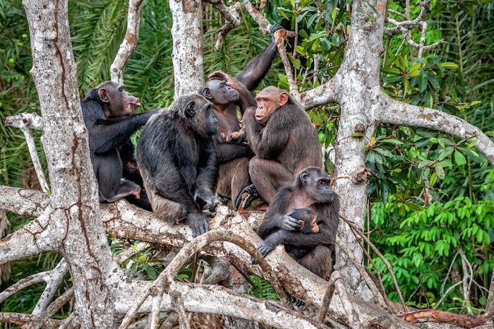 Group of Chimpanzee (Pan troglodytes) on mangrove branches. Congo. Africa. By Sergey Uryadnikov | Shutterstock.com