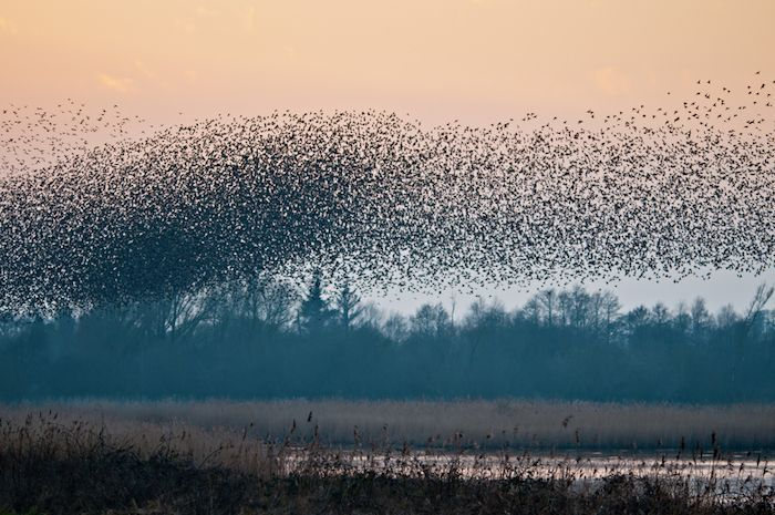 A murmuration of starlings as they come to roost at Shapwick Heath nature reserve, Somerset UK. By Richard Evans | Shutterstock.com