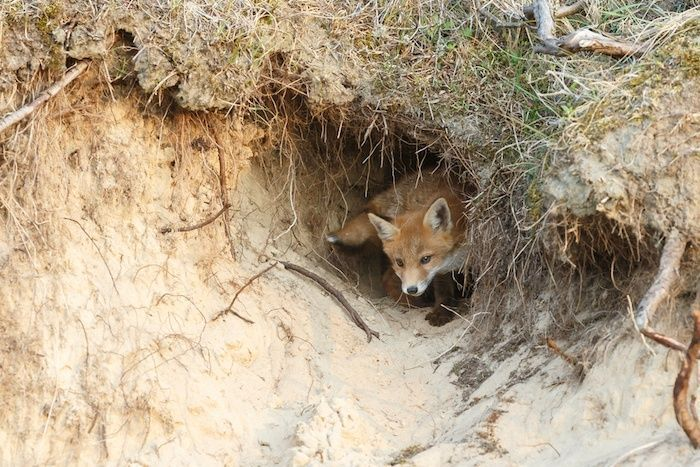 Red fox cub in nature in his den. By Menno Schaefer | Shutterstock.com