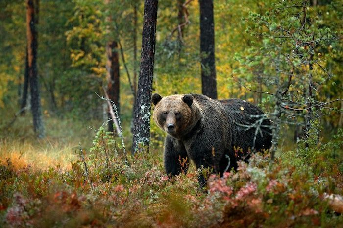 Brown bear walking around lake with fall colours. Wildlife habitat from Russia. By Ondrej Prosicky | Shutterstock.com