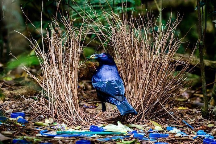 Satin Bowerbird sitting at his bower with collected blue objects. By Luke Shelley | Shutterstock.com