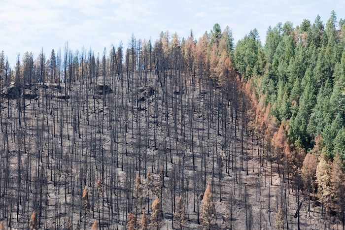 Burned zone next to green trees - Lightner Creek forest fire in Durango, Colorado. By Kara Grubis | Shutterstock.com