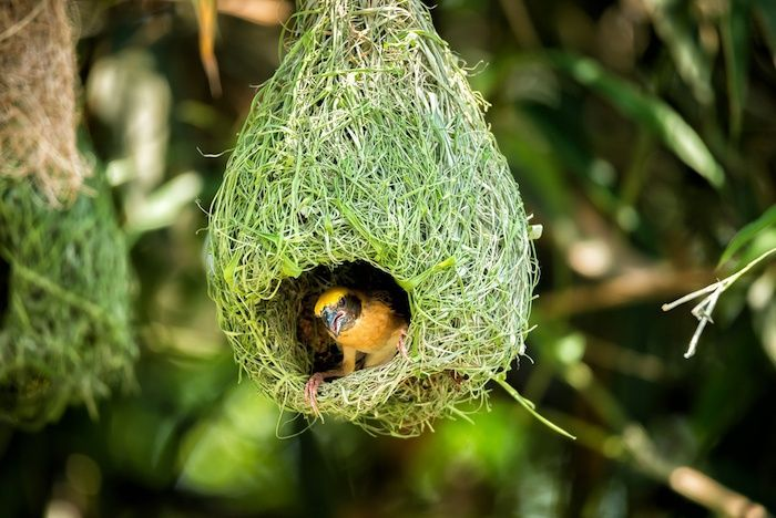 Weaver bird nest on bamboo tree. By Platoo Stock Photography | Shutterstock.com
