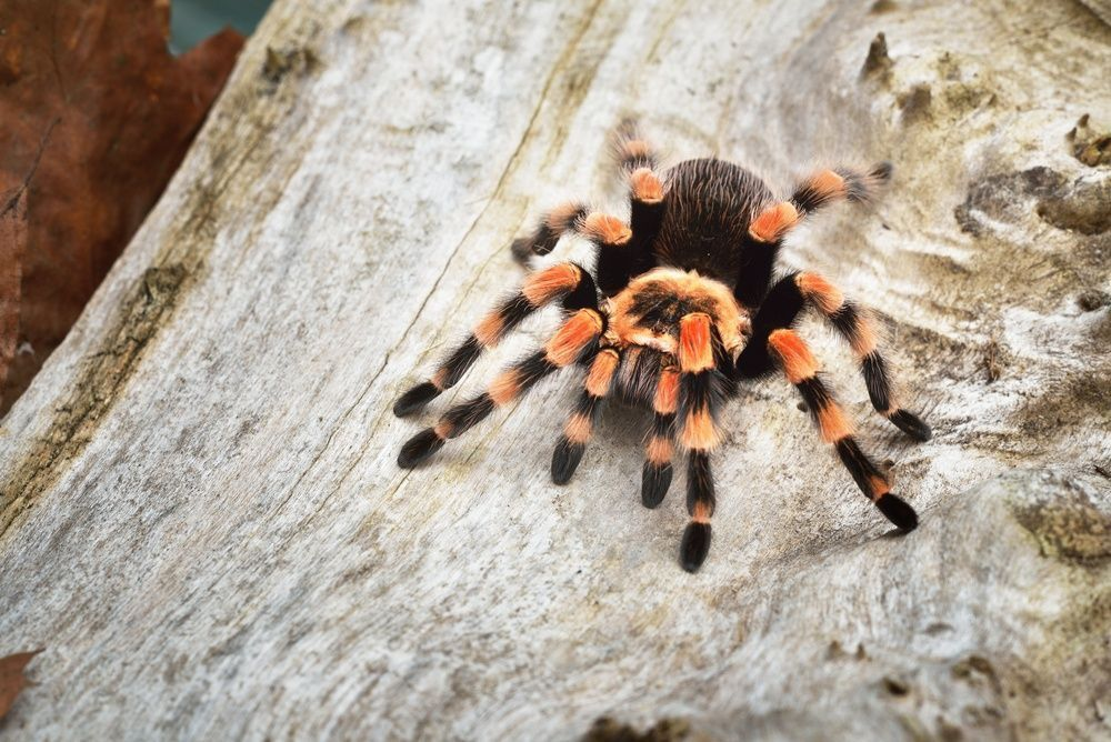 Birdeater tarantula spider Brachypelma smithi in natural forest environment. By Aleksey Stemmer | Shutterstock.com