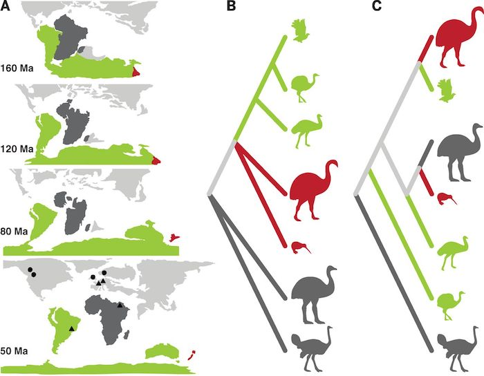Pic extracted from the article - Ancient DNA reveals elephant birds and kiwi are sister taxa and clarifies ratite bird evolution, by Kieren Mitchell