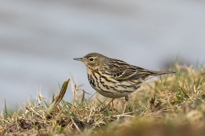 A Meadow Pipit (Anthus pratensis) in springtime standing in short grass. By Andrew M. Allport | Shutterstock.com