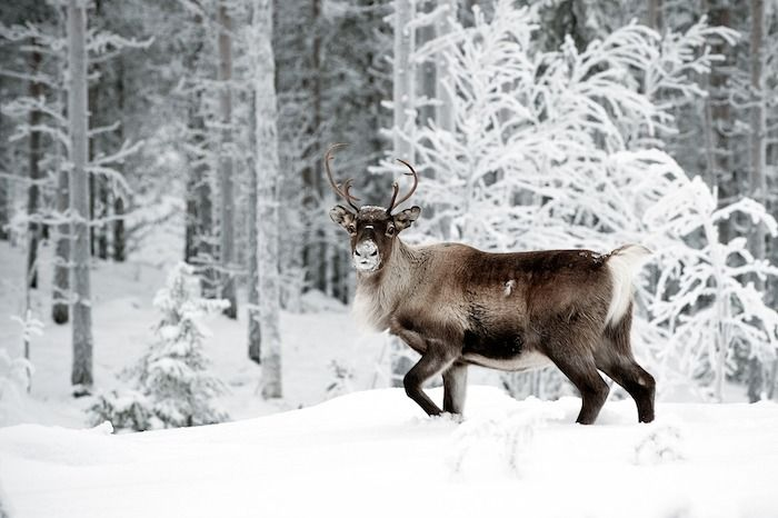 Reindeer in its natural environment in Scandinavia. By Andreas Gradin | Shutterstock.com