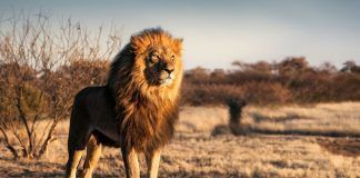 Single lion looking regal standing proudly on a small hill. By Andrew Paul Deer | Shutterstock.com